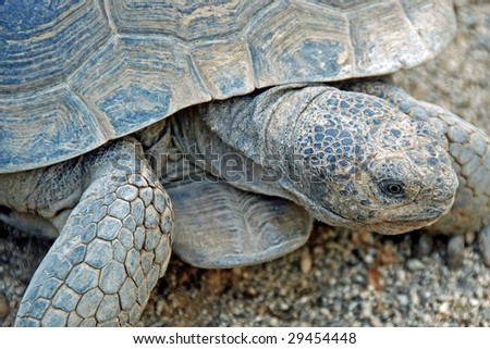 Desert Tortoise Close-up