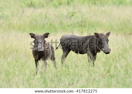 desert warthog (Phacochoerus aethiopicus) in african natural park - stock photo