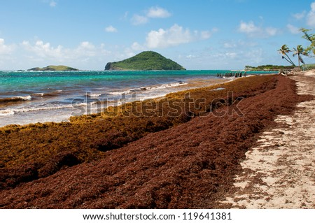 deserted beach at Vieux Fort, Saint Lucia (algaes and seaweeds at the coast due to hurricane season) - stock photo