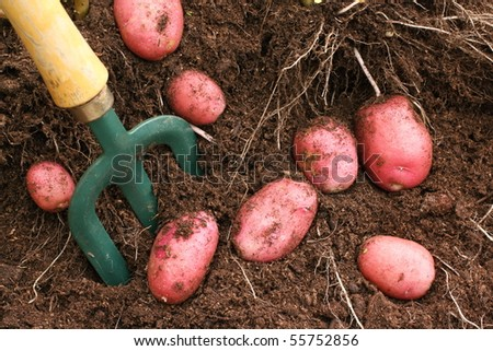 Desiree potatoes dug from the soil - stock photo