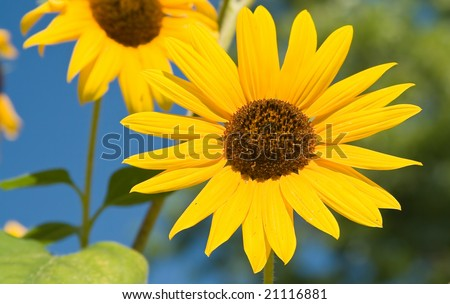 Desktop background with summer sunflowers, blue sky and green leafs - stock photo