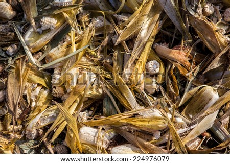 Destroyed corn lying on the corn field - stock photo