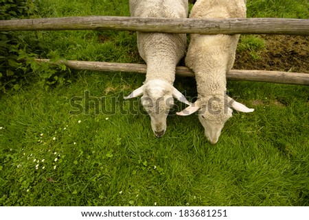 detai two sheep stretching across the corral fence on green grass with neighbors - stock photo