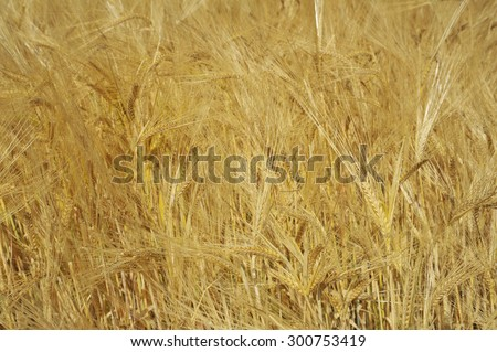 Detail barley field - stock photo