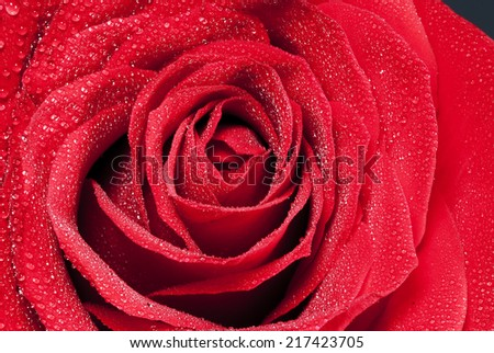 Detail beautiful red rose flower whit water dorps in black background - stock photo