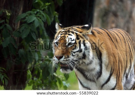 detail bengal tiger in zoo - stock photo