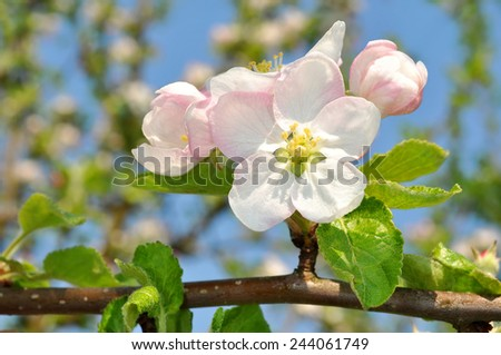 Detail blooming apple tree branch. Spring background. - stock photo
