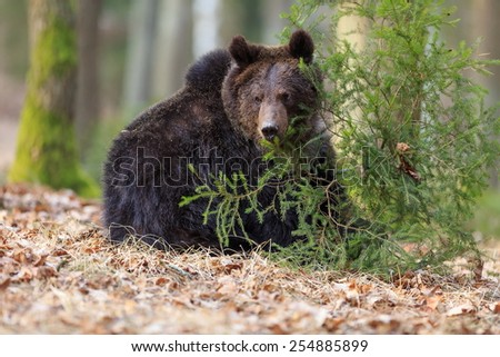 detail brown bear - stock photo