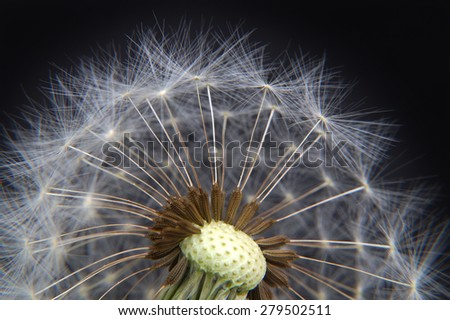 Detail Dandelion - Macro - stock photo