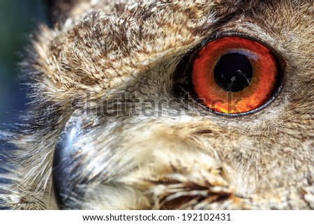 detail eye eagle owl