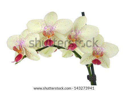 Detail flowers yellow orchid on white background - stock photo