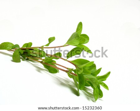 Detail fresh marjoram - stock photo