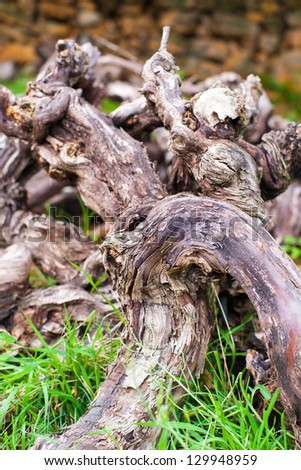 Detail from vine wood branches - stock photo
