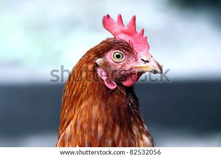 detail head brown hen - stock photo