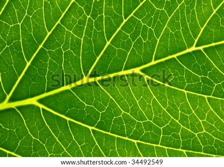 Detail image of a fine green leaf. Useful as background.