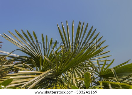 Detail in the foreground of palm leaves. Green leaves of a palm tree contrast with the blue of the spring sky in a park in Turin (Piedmont, Italy).
