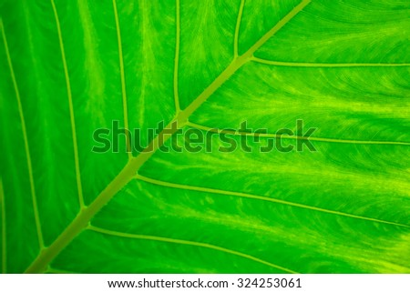 Detail lines and textures of green leave with selective focus - stock photo
