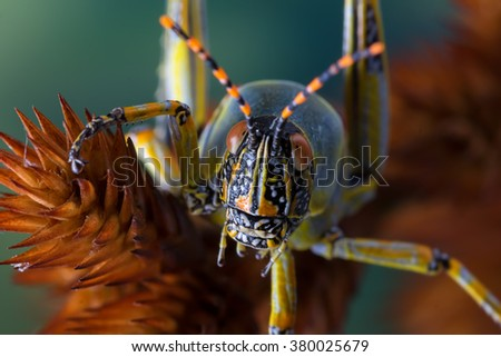 detail macro front on view of a grasshopper on a brown grass husk against a green foliage background - stock photo