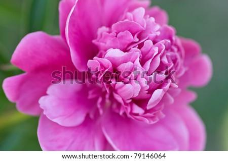 detail macro photo of pink peony - stock photo