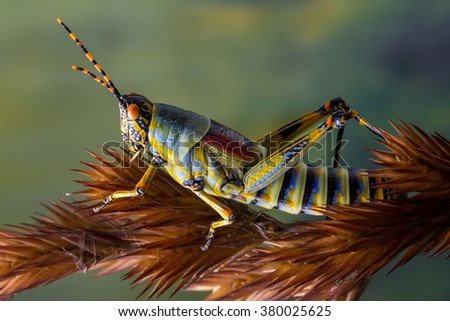 detail macro view of a colorful grasshopper on a dry grass stem against a green foliage background - stock photo