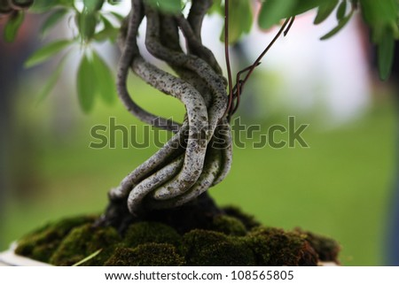 detail of a bonsai tree - stock photo