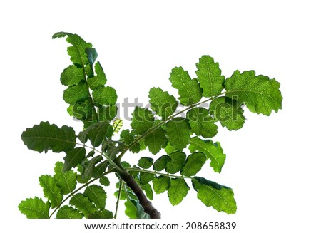 """Detail of a """"Boswellia sacra"""" tree traditionally used to harvest frankincense resin. - stock photo"""