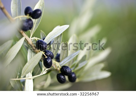 detail of a branch of an olive tree with leaves and fruit - stock photo