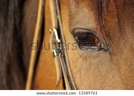 Detail of a brown horse with bridle - stock photo
