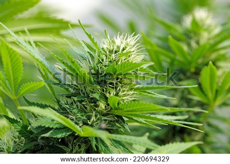 Detail of a Cannabis flowerhead with resin dripping on the leaves - stock photo