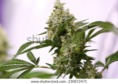 Detail of a Cannabis plant. Lemon OG marijuana strain. Huge indoor flower-head - stock photo