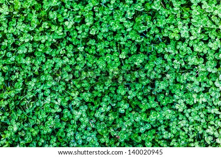 detail of a clover field: a good background for Saint Patrick's Day - stock photo