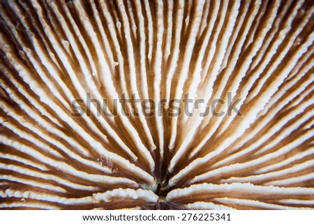 Detail of a colorful mushroom coral (Fungia sp.) on a reef in the tropical western Pacific Ocean. This is a common coral found in the Pacific. - stock photo