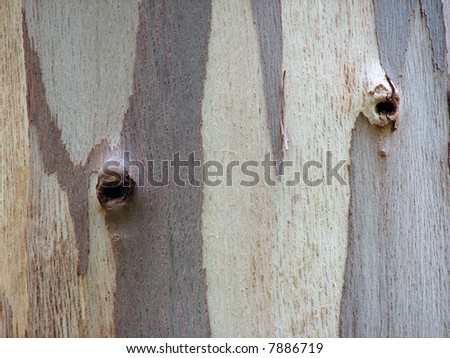 Detail of a Eucalyptus bark with knotholes