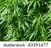 detail of a field of hemp - stock photo