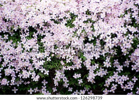 Detail of a flowering clematis plants. - stock photo