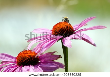 Detail of a flowering echinacea plants in the garden. - stock photo