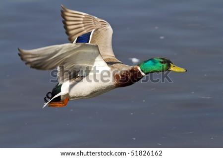 detail of a flying duck - stock photo