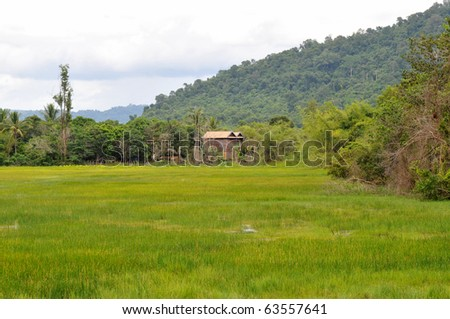 detail of a fresh green rice field in cambodia