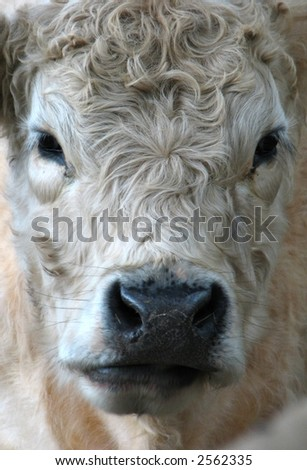 detail of a galloway cow