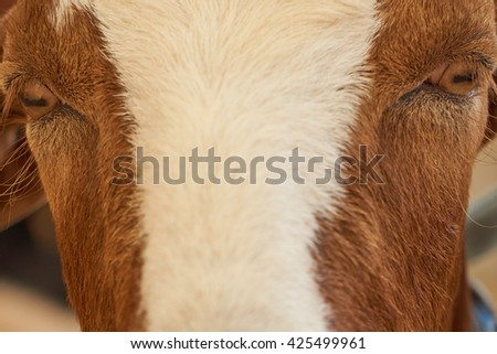 Detail of a goat's face and it's eyes