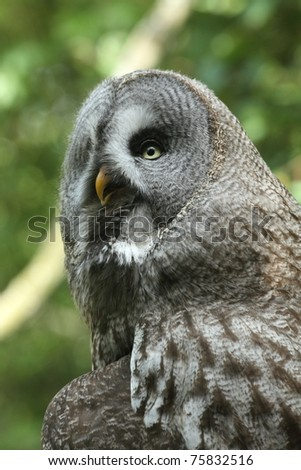 Detail of a great gray owl