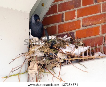 Detail of a jackdaw nesting in the city. - stock photo
