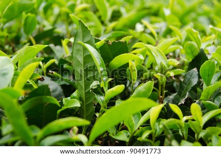 Detail of a japanese green tea plant with fresh leaves - stock photo