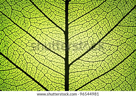 detail of a leaf in backlit showing ribs and veins - stock photo
