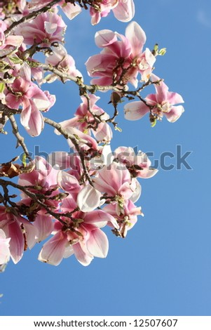 detail of a magnolia in full bloom