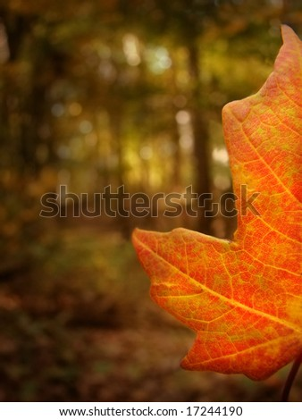 Detail of a maple leaf - stock photo