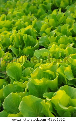 Detail of a plantation of lettuces - stock photo