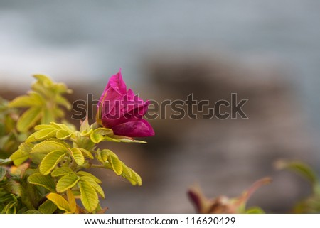 Detail of a purple wild rose blossom on a cliff near Portland, Maine. - stock photo