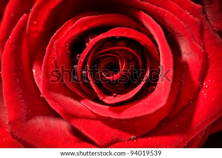 detail of a red wet rose with strong contrast - stock photo