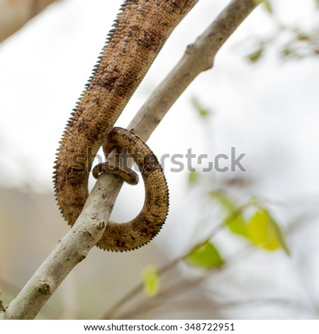 Detail of a sharp Oustalet Chameleon brown tail tied on a branch in Madagascar - stock photo